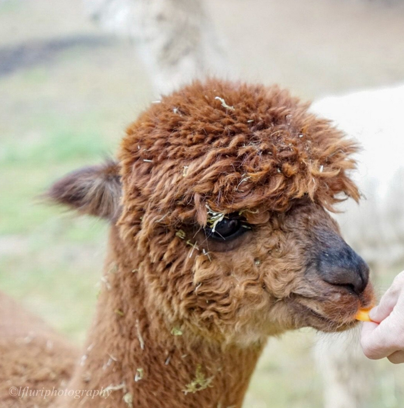 Alpaka wird mit Karotte gefüttert