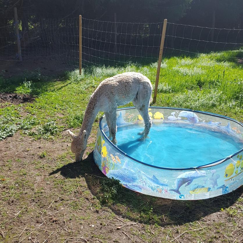 Alpaka im Schwimmbecken