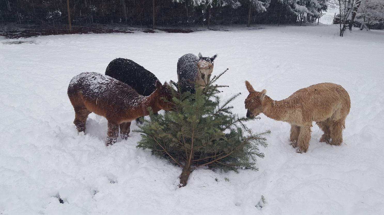 Alpakas im Schnee mit Tannenbaum