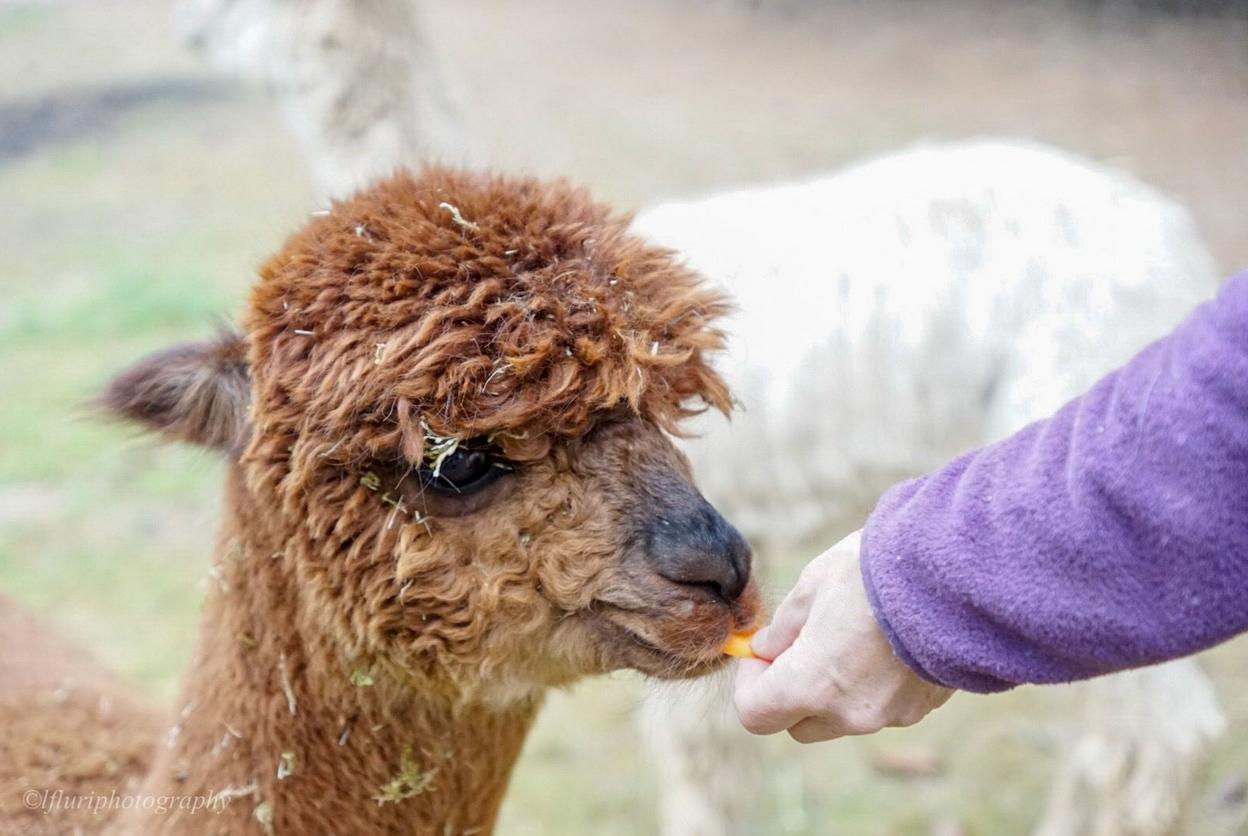 Braunes Alpaka wird gefüttert