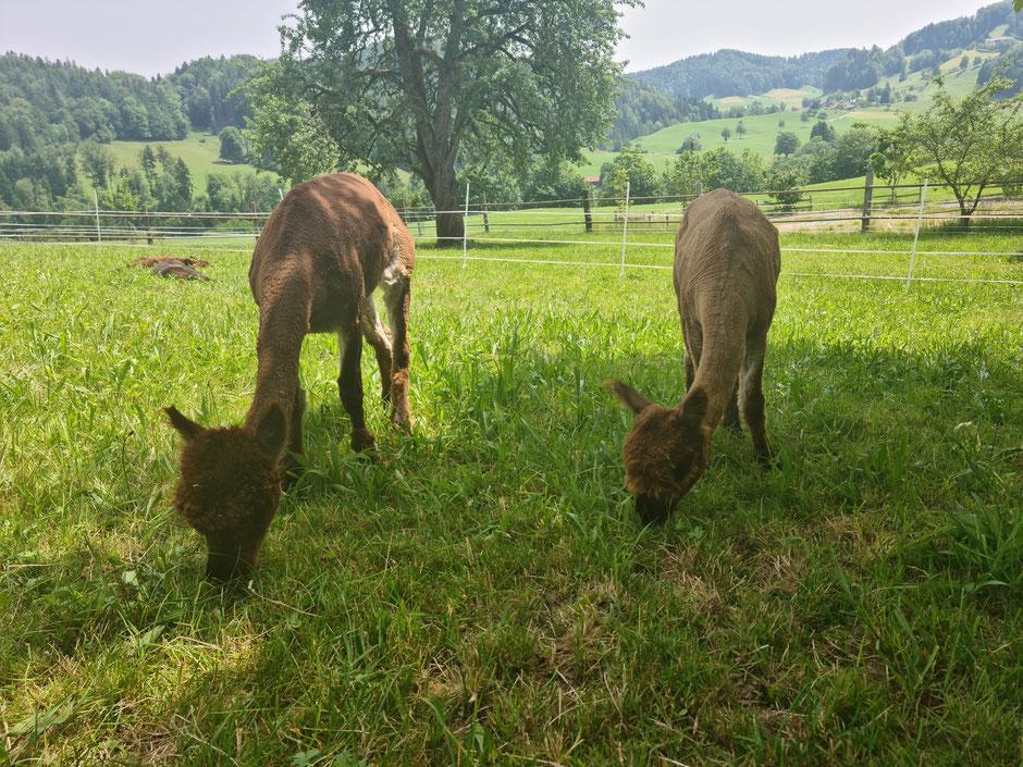Alpaka Hazel und Alpaka Anna auf der Weide