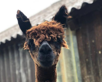 Alpaka Portrait auf unserer Alpaka Farm