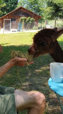 Alpaka wird mit Heu gefüttert