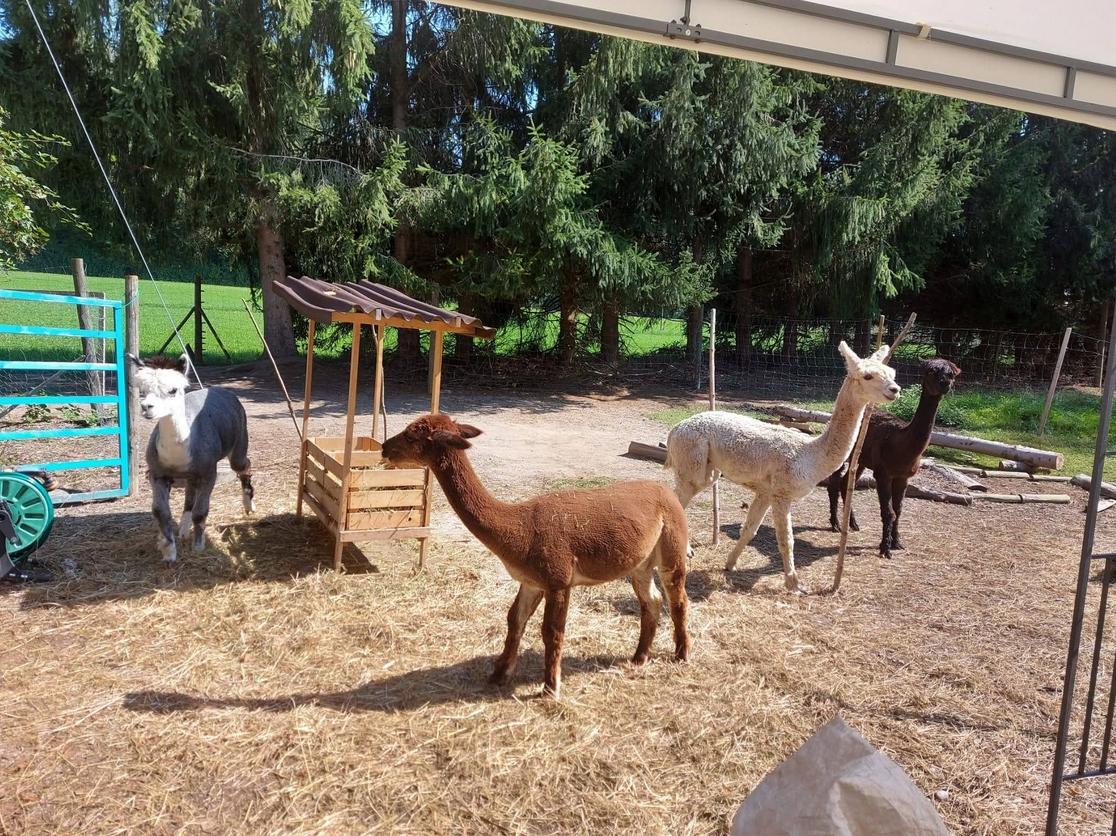 Die Alpakas warten auf Action